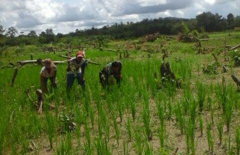 Babinsa Sebawi melaksanakan kegiatan pendampingan ketahanan pangan membersihkan rumput bersama masyarakat Kelompok Tani Karya Baru